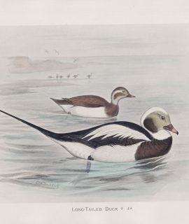 Vintage Print, Long-Tailed Duck, 1900