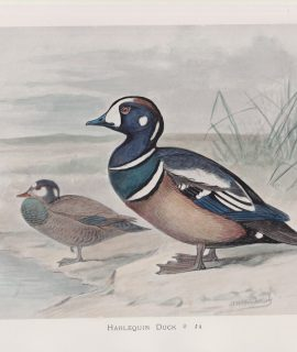 Vintage Print, Harlequin Duck, 1900