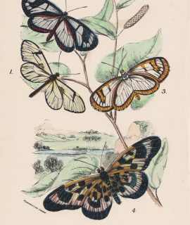 Antique Print, Butterflies, 1852