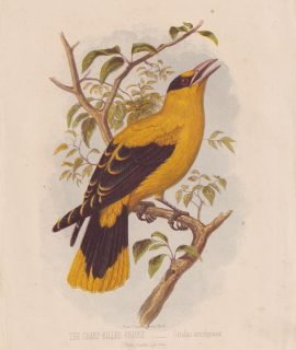 Antique Print, The Sharp-Billed Oriole, Oriolus acrorhyncus, 1860