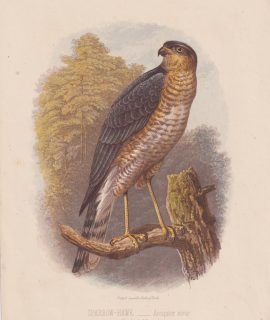 Antique Print, Sparrow-Hawk, Accipiter nisus, 1860