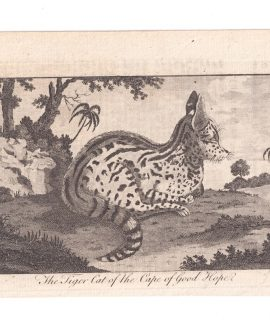 Antique Engraving Print, The Tiger Cat of the Cape of Good Hope, 1770 ca.