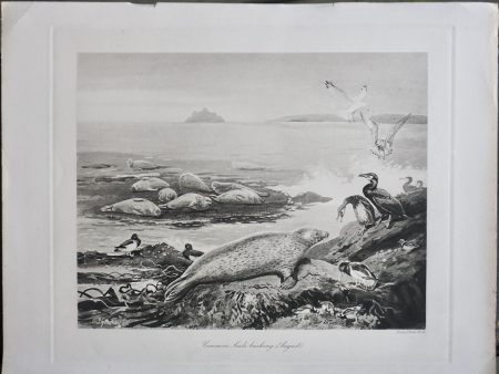Antique Engraving print, Common Seats basking (August), 1870 ca.