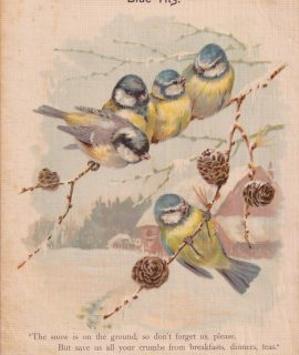 Vintage print, Blue Tits; Having a bad time, 1909 ca.