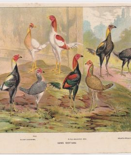 Vintage Print, Game Bantams, 1890