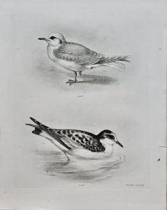 Antique Engraving Print, Birds, 1906