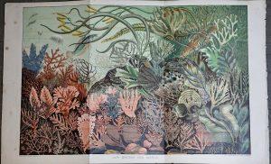 Vintage Print, Our British Sea Weeds, 1890