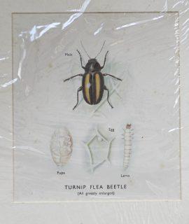 Vintage Print, Turnip Flea Beetle, 1930