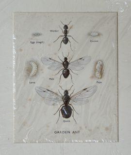 Antique Print, Garden Ant, 1930