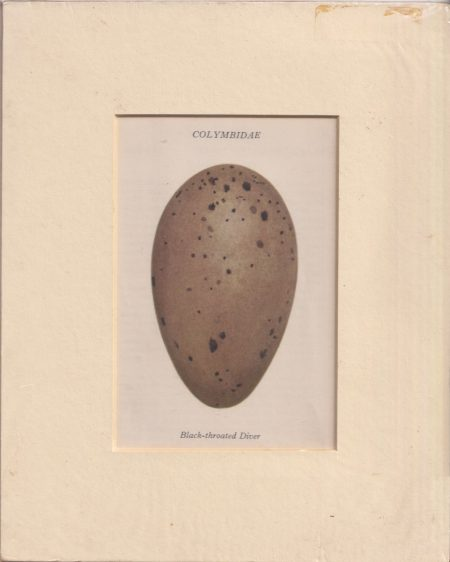 Antique Print, Colymbidae, Black-throathed Diver, 1890