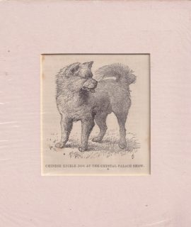 Antique Engraving Print, Chinese Edible Dog at the Crystal Palace Show, 1884