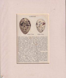 Antique Print, Laridae, Artic Tern, Little Tern, 1890 ca.