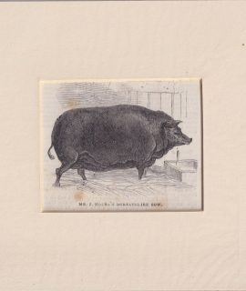 Antique Engraving Print, Mr. J. House's Dorsetshire Sow, 1870 ca.