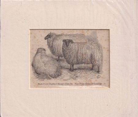 Antique Engraving Print, Black-faced Highland Sheep, 1860 ca.