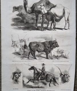 Antique Print, Camels; Oxen; Bull; Horse, 1861