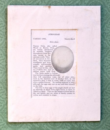 Vintage Print, Strigidae, Tawny Owl, 1890