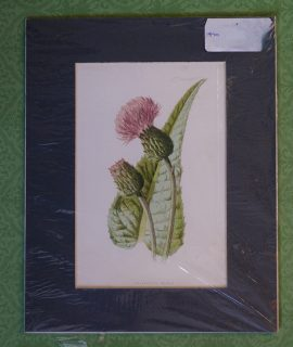 Antique Print, Melancholy Thistle, 1890