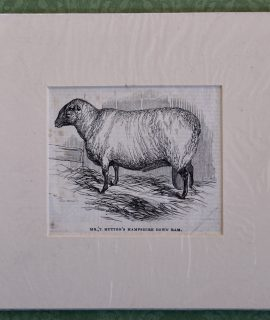 Antique Engraving Print, Mr. Hutton's Hampshire Down Ram, 1870