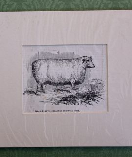 Antique Print, MR. E. Hardy's Improved Cotswold Ram, 1870