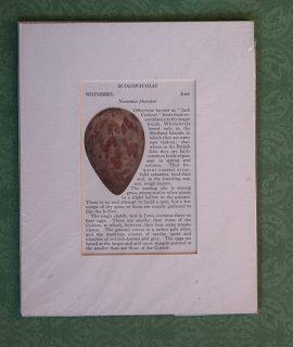 Antique Print, Stercorariidae, Arctic Skua, 1890 ca.