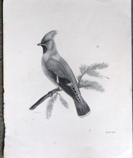 Antique Engraving Print, Bird, Plate, 1870