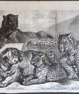 Antique Print, Leopard and Tigress, 1868