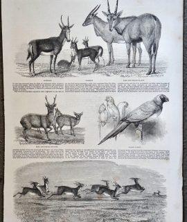 Antique Print, Herd of Indian Antelopes, 1851