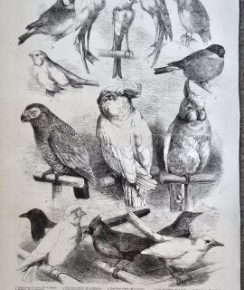 Antique Print, Birds at the Crystal Palace Show, 1865