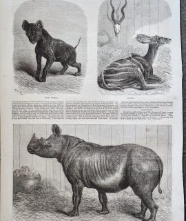 Antique Print, Rhinoceros; Hyaena; Koodoo, 1868
