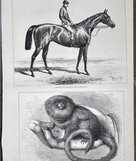 Antique Print, Hampton; The Pigmy Marmozet, 1877
