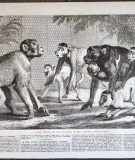 Antique Print, Monkeys, 1868