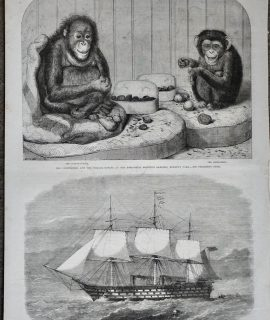 Antique Print, The Chimpanzee and the Ourang-outang; H.M.S. Victoria, 1864
