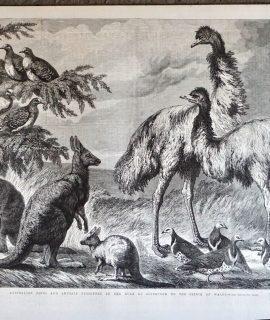 Antique Print, Australian Birds and Animals, 1868
