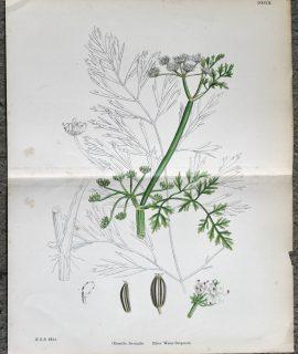 Antique Print, River Water-Dropwort, 1890