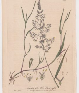 Antique Engraving Print, Agrostis alba, 1842
