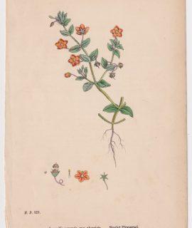 Antique Print, Anagallis arvensis, 1865
