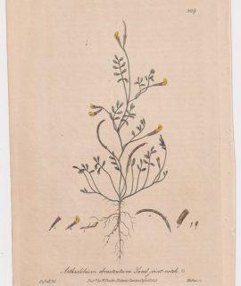 Antique Engraving Print, Arthrolobium ebracteatum, 1843