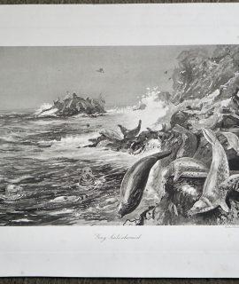 Antique Engraving Print, Grey Seals Alarmed, 1870 ca.
