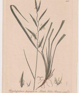 Antique Engraving Print, Brachypodium pinnatum, 1841