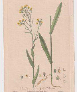 Antique Engraving Print, Camelina Sativa, 1841