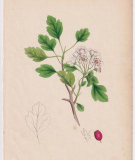 Antique Print, Crataegus Oxyacanthoides, 1865