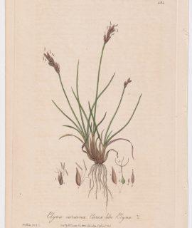 Rare Antique Engraving Print, Elyna caricina, 1842