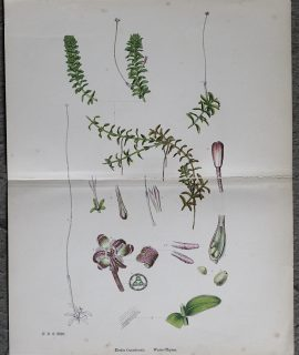 Antique Print, Elodia Canadensis, Water-Thyme, 1890