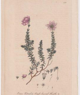 Antique Engraving Print, Erica Tetralix, 1841