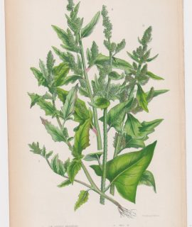 Antique Print, Fig Leaved Goosefoot, 1860