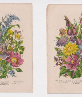 Antique Print, Lot of 2 botanic print, 1870