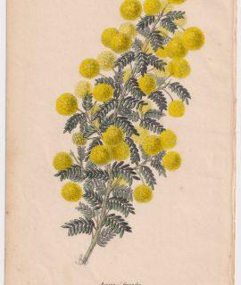 Antique Print, Acacia Grandis, 1850