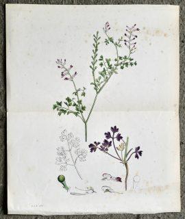 Antique Print, Fumaria confusa, 1890