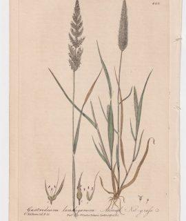 Antique Engraving Print, Gastridium lendigerum, 1841