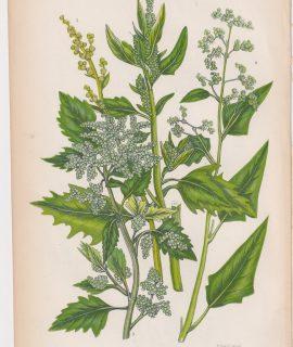 Antique Print, Upright Goosefoot, 1860